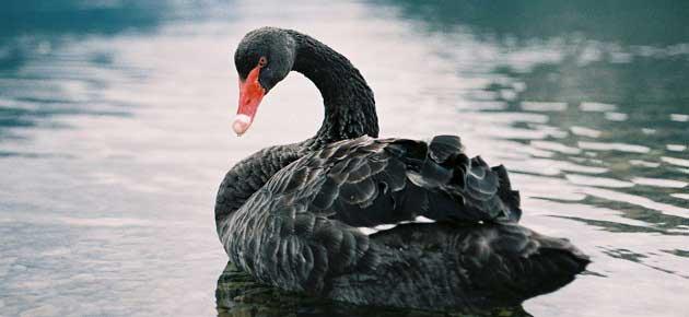 Bir Siyah Kuğu