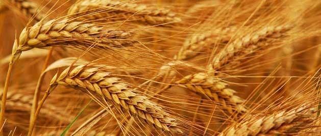 Anadolu Kırmızı Buğday Vadeli İşlem Sözleşmeleri